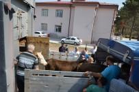 ENDER FARUK UZUNOĞLU - Suşehri'nde Genç Çiftçilere Dana Dağıtıldı
