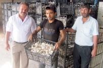 MEHMET DOĞAN - Dibe Vuran Sarımsak Fiyatı Üreticiyi Zora Soktu
