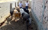 HAYVAN - Besni İlçesinde Genç Çiftçilere 60 Büyükbaş Hayvan Dağıtıldı