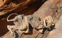 HAYVAN - (Düzeltme) 500 Yıllık Ağacın İçinden Çıkan Hayvan İskeleti Şaşırttı