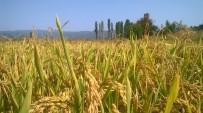 SAĞANAK YAĞIŞ - Yağmur Çeltik Üreticileri Mağdur Etti