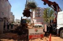 HAKAN TÜTÜNCÜ - Asırlık Zeytin Ağaçları Yeni Yerlerine Taşınıyor