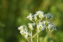 EKINEZYA - Kocasinan'da Tıbbi Ve Aromatik Bitkiler Ürün Vermeye Başladı