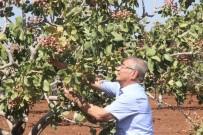 ABDULLAH GÜL - Kilis'te Dünyada Benzeri Olmayan Fıstık Üretildi