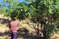GÜNEŞ IŞIĞI - İncirde Hasat Sezonu Sona Erdi, Altın Yılını Yaşayan Üretici Mutlu