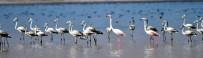 ERÇEK GÖLÜ - Flamingolar Arin Gölünde İlk Defa Yoğun Şekilde Görüntülendi
