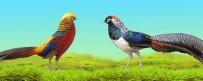 ALABALIK - Trabzon'da Uluslararası Süs Tavukları Fuarı Düzenlenecek