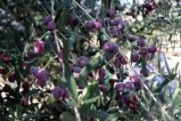 AKBELEN - 800 Yıllık Zeytin Ağacından İlk Hasat Yapıldı