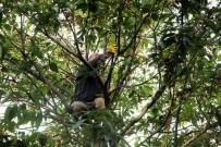 AHMET GÜLTEKIN - Katil Arılar Kestane Fiyatlarını Uçurdu