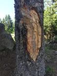 Çıra İçin 50 Yıllık Ağaçlara Zarar Veriyorlar