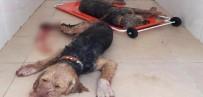 KıLıÇARSLAN - Domuzlar 5 Av Köpeğini Ağır Yaraladı