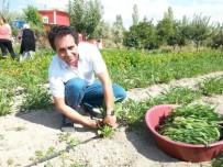 KİMYASAL GÜBRE - Talas'ta Adaçayı Hasadı Yapıldı