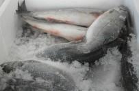 İNCİ KEFALİ - Deniz Balıkları Tezgâhlardaki Yerini Aldı