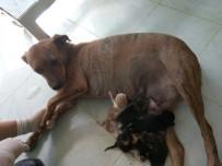 SOKAK KÖPEĞİ - Sokak Köpeği 5 Kedi Yavrusunu Emzirerek Annelik Yaptı