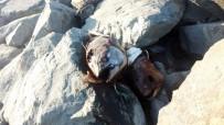 ORKİNOS - Gürpınar Sahilinde Kilolarca Ağırlığında Beş Orkinos Balığı Bulundu