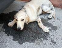 KALDIRIM TAŞI - Hatay'da köpeğe şiddet dehşeti