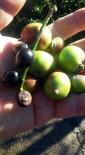 TAFLAN - Kış Ortasında Ağaçlar Meyve Verdi