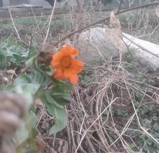 Kış Ayında Açan Çiçekler Şaşırttı