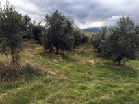 ORGANİZE SANAYİ BÖLGESİ - Manisa'da Bin 500 Zeytin Ağacı Taşındı