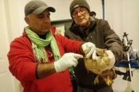 ADNAN MENDERES ÜNIVERSITESI - Doğada Yaralı Halde Bulunan Kızıl Şahin Tedavi Altına Alındı