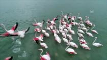 MILLI PARKLAR GENEL MÜDÜRLÜĞÜ - Çukurova Göçmen Kuşları Ağırlıyor