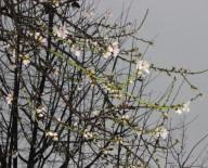 (Özel) Ocak Ayında Çiçek Açan Bademlere Kar Yağdı