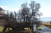 DIYABET - 850 Yaşındaki Karadut Ağacı Hâlâ Meyve Veriyor