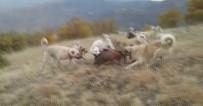 KEÇİ - Kangallar domuzu böyle parçaladı