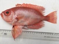 KıZıLDENIZ - Mersin Dana Adası Açıklarında İlk Kez  'Manda Göz' Balığı Yakalandı