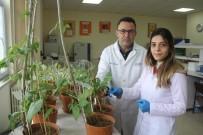 SIVAS CUMHURIYET ÜNIVERSITESI - Sivas'ta Bilim Adamları Kuraklığa Dayanıklı Tohum Geliştiriyor