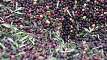 EDREMİT KÖRFEZİ - Zeytin Ağacından Toplandı, Yağının Kalitesi Arttı