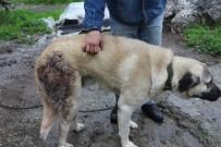 BELDIBI - Şehre İnen Domuz Sürüsü Köpeğe Saldırdı