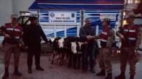 ŞENYURT - Tokat'tan Çalınan Büyükbaş Hayvanlar Amasya'da Bulundu