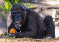 HAYVAN BAKICISI - Dünya'nın En Yaşlı Gorili Öldü
