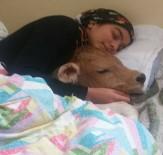 YAĞCıLAR - Rizeli Heidi Kez Hasta Buzağısıyla Uyudu