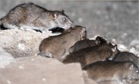 TAHRAN - O şehri fareler bastı