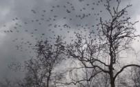 TAKSIM - (Özel) Taksim'de Sığırcık Kuşlarının Dansı Büyüledi