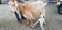 ŞIRINEVLER - Süt Yetmeyen Dördüz Kuzulara Keçi Annelik Yapıyor