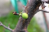 MAHALLE MUHTARLIĞI - İklim Değişikliği Kendini Gösterdi, Kocaeli'nde Ağaçlar Meyve Verdi