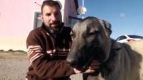 HÜSEYIN YıLDıZ - 'Kangal Köpeği Isırmaz, Teslim Alır'