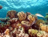 PROFESÖR - Mercan resifleri yok olmak üzere