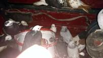 PARMAK İZİ - Otomobilin Bagajından Çalıntı Güvercin Çıktı