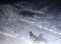 Sürü Halinde Köye Saldıran Aç Kurtlar Kangal Köpeğini Parçaladı