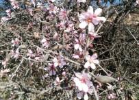 İLKBAHAR - Ocak Ayında Bademler Çiçek Açtı