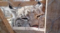 HAYVAN BARINAĞI - Vaşağı Kedi Gibi Sevdi