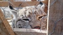 HAYVAN BARINAĞI - Vaşak Yavrusunu Kedi Gibi Sevdi