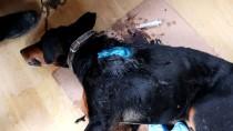 Yaban Hayvanları Av Köpeklerine Saldırdı