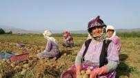 HÜSEYIN TÜRKOĞLU - Ödemiş Patatesi Ücret, Yağış Ve Adaptasyon Kıskacında