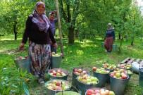 GEVREK - Amasyalılar 2 Bin Yıldır Elma Yetiştiriyor