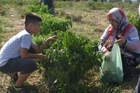 KERVANSARAY - Müşteri Tarladan Sebzesini Kendi Topluyor
